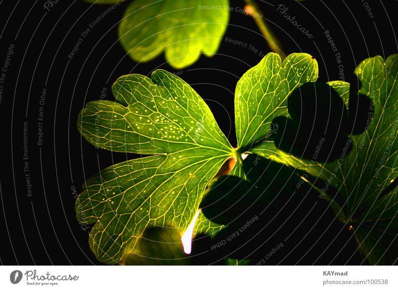 geblendetes Blatt grün ruhig blenden Gefäße