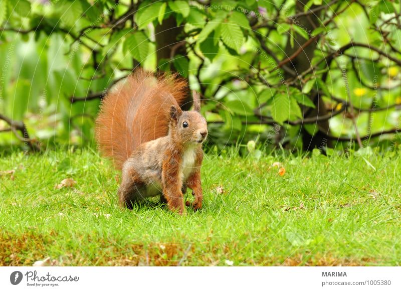 A squirrel on green grass. Natur Tier Gras Wiese Fell Behaarung Wildtier Rost braun grün rot Wachsamkeit intent beige brown Eichhörnchen Eurasian red squirrel