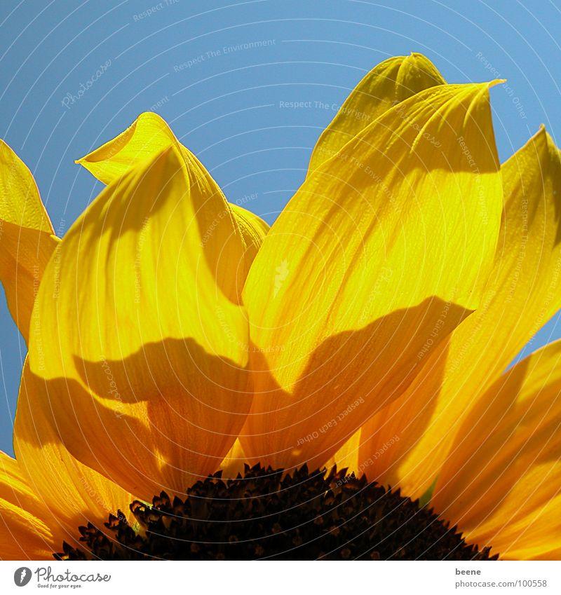 Stück Sonne Sonnenblume Blume Blüte Sommer gelb Physik Blütenblatt Himmel blau Schönes Wetter mehrfarbig Wärme daußen Natur Detailaufnahme