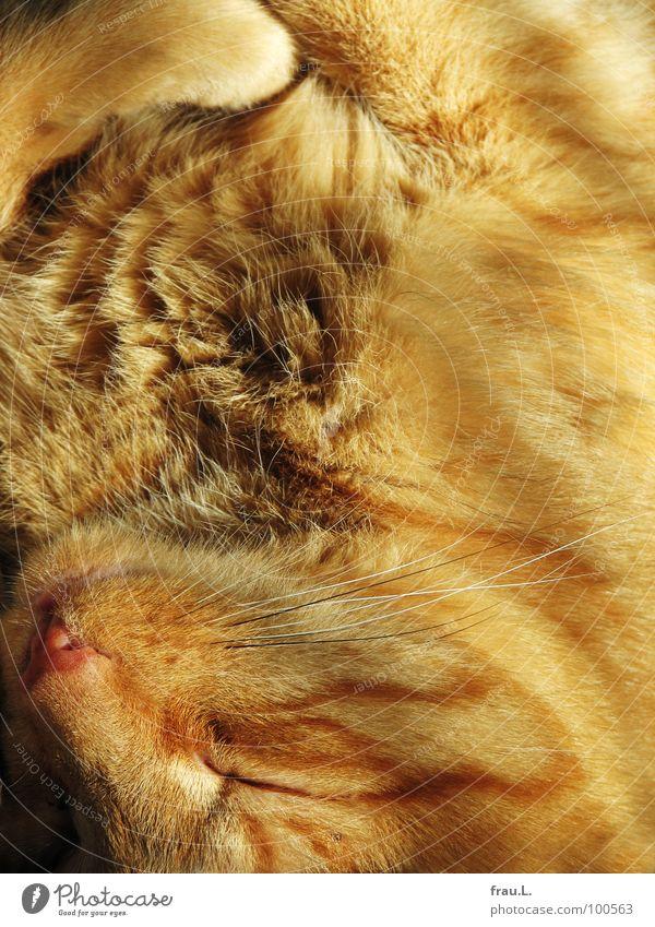 Paul rot Sonne Glück träumen Zufriedenheit Mund schlafen weich Fell Vertrauen gemütlich Pfote Säugetier sanft kuschlig Hauskatze