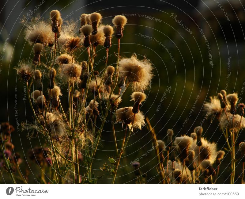 Golden Girls alt Pflanze Sommer schwarz Umwelt gold Vergänglichkeit Blühend leicht fein stachelig verblüht Distel