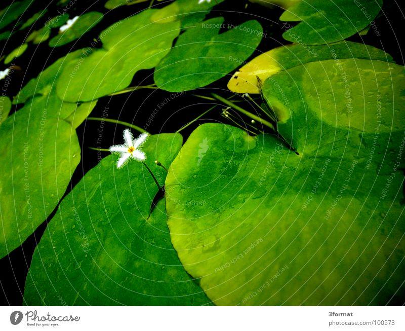 seerose03 Seerosen Blume Blüte Rose Pflanze Teich dunkel schwarz grün Reflexion & Spiegelung Samt samtig Teppich feucht kalt Morgen einzeln Einsamkeit