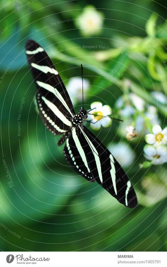 Zebra Longwing on a plant Natur Pflanze schön grün weiß Blume Tier schwarz Umwelt gelb Blüte sitzen Insekt gestreift Ekel Fühler