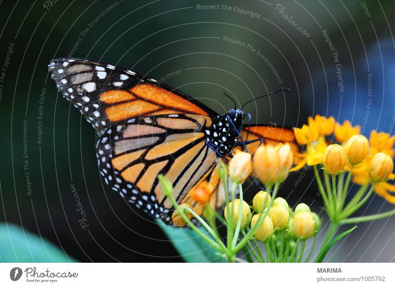 Amerikanische Monarch sitting on orange flower Natur Pflanze schön grün rot Blume Tier schwarz Umwelt gelb Blüte sitzen Insekt Ekel Fühler