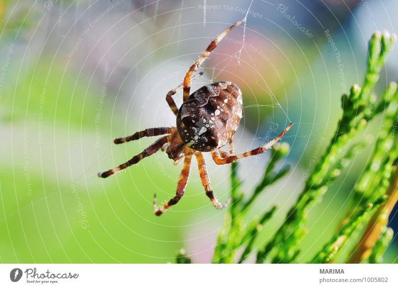 garden spider on its web Garten Umwelt Natur Tier Spinne Netz sitzen Ekel braun grün outside beige brown disgust disgusting Europa european garden spider