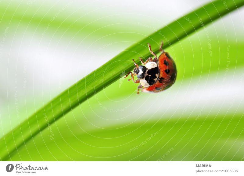 red ladybug on a plant Natur Pflanze grün rot Blatt Tier Umwelt sitzen Europa Punkt planen Insekt Bühnenbeleuchtung krabbeln gepunktet Käfer