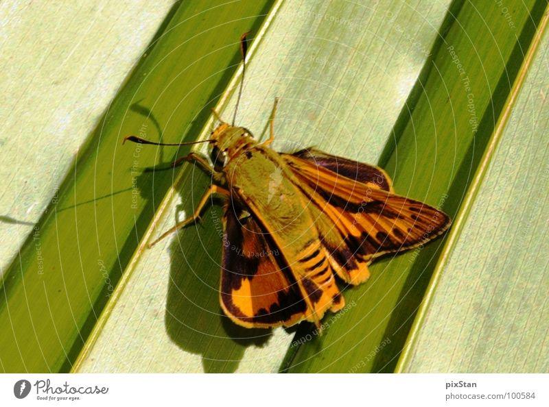 Brum das Insekt grün braun Tier Fühler Schmetterling Flügel Schatten Nahaufnahme