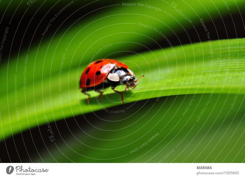 red ladybug on a plant Natur Pflanze grün rot Blatt Tier Umwelt Garten sitzen Europa Punkt planen Insekt Bühnenbeleuchtung krabbeln gepunktet