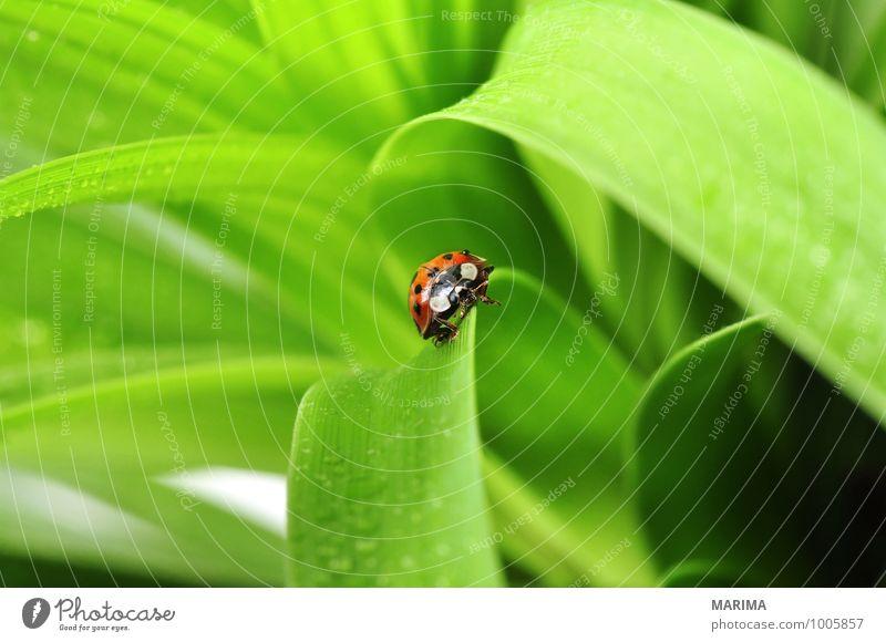 red ladybug on a plant Umwelt Natur Pflanze Tier Blatt Käfer krabbeln sitzen Ekel grün rot outside sheet Cucujiformia Polyphaga disgust disgusting Europa