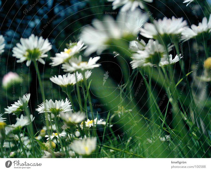 Gänseblümchenwald Natur weiß grün Pflanze Sommer Blume Wiese Gras Stengel Gänseblümchen Waldrand