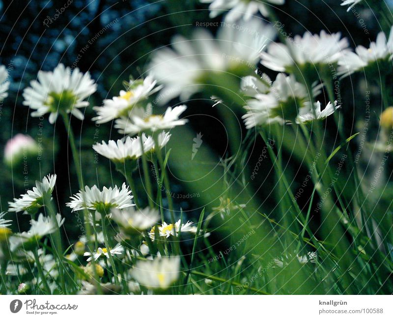 Gänseblümchenwald Wiese Blume Gras grün weiß Sommer Froschperspektive Waldrand Stengel Pflanze Daisy Natur