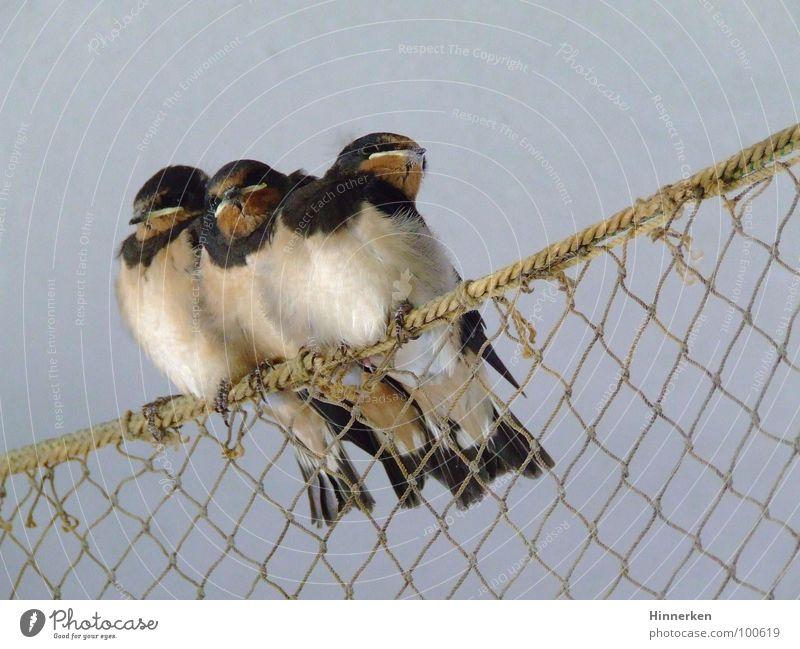 Schwalbenkinder Rauchschwalbe Vogel Zugvogel Geschwister Fischernetz Schnabel Brutpflege Frühling Körperpflege Jungvogel 3 Hintergrund neutral Außenaufnahme