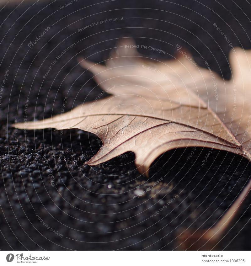 vergänglich Umwelt Natur Pflanze Herbst Blatt Grünpflanze Wildpflanze Stein alt dünn authentisch einfach kalt nah natürlich Spitze trist trocken weich braun