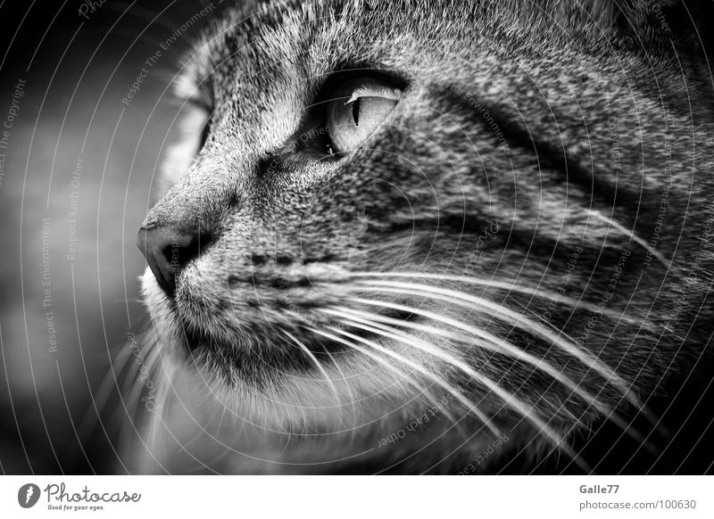 Observation Katze Silhouette Schnurrhaar Säugetier Hauskatze Blick beobachten Profil Katzenauge Auge Momentaufnahme