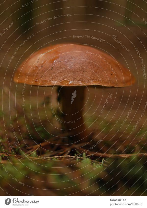BEUTE Pilz speisepilz Natur Ernährung zwergenwald Maronen