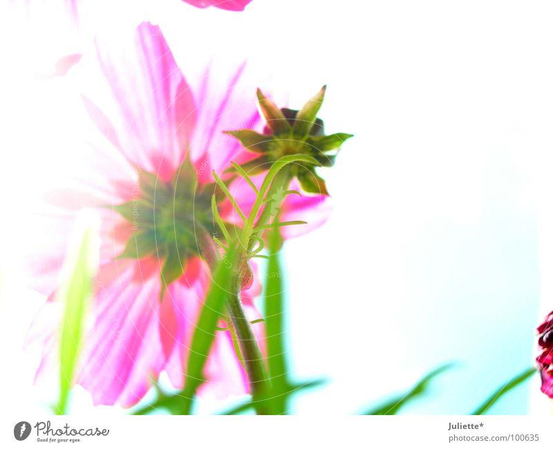 Schönheit von hinten schön weiß Blume grün Sommer rosa zart bleich Blütenknospen neutral