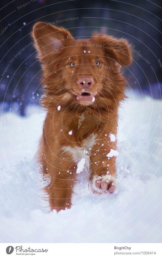 Bagizo Natur Winter Schnee Tier Haustier Hund 1 laufen rennen Nova Scotia Duck Tolling Retriever Farbfoto Gedeckte Farben Außenaufnahme Blick
