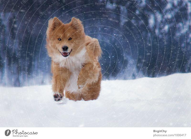 Barnie Natur Winter Schnee Schneefall Tier Haustier Hund 1 laufen rennen Farbfoto Gedeckte Farben Außenaufnahme Blick in die Kamera Blick nach vorn