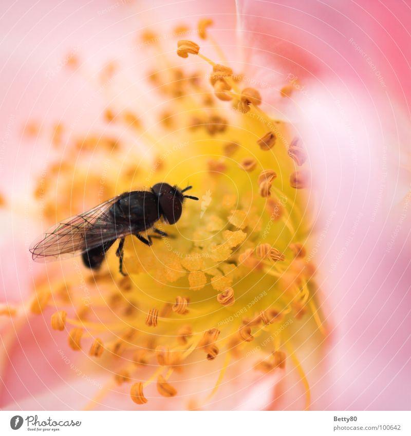 Von wegen fleißiges Bienchen! Insekt Biene Staubfäden Blume Blüte Sammlung Suche genießen Kosten Makroaufnahme Nahaufnahme Sommer Fliege Nektar Blühend Natur