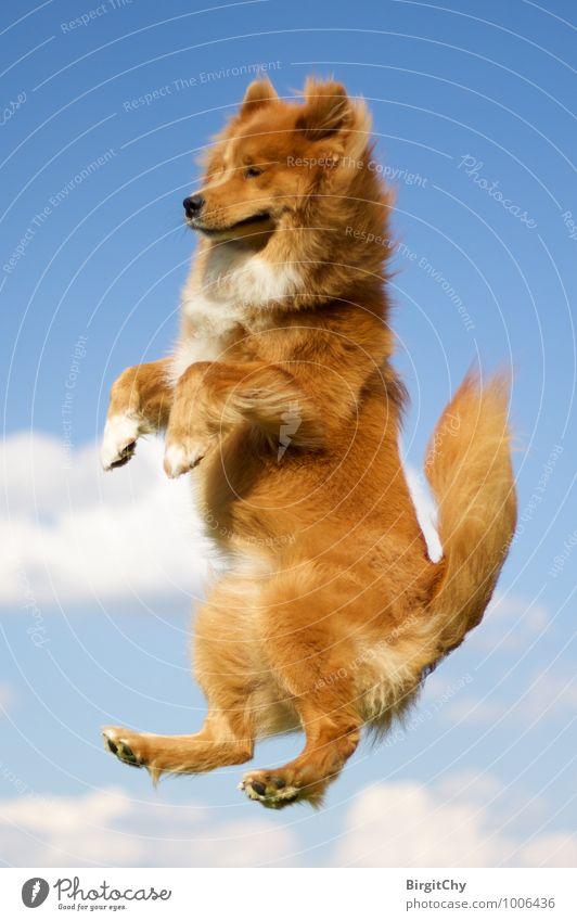 flying Himmel Wolken Sommer Schönes Wetter Tier Haustier Hund 1 fallen fliegen springen Freude Lebensfreude Elo (Hunderasse) Farbfoto Außenaufnahme Tag