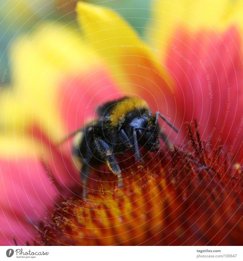 Feuerkelch rot schwarz gelb Arbeit & Erwerbstätigkeit Brand fliegen Konzentration Sammlung Pollen Arbeiter Hummel fleißig Staubfäden Desaster Nektar Sammler
