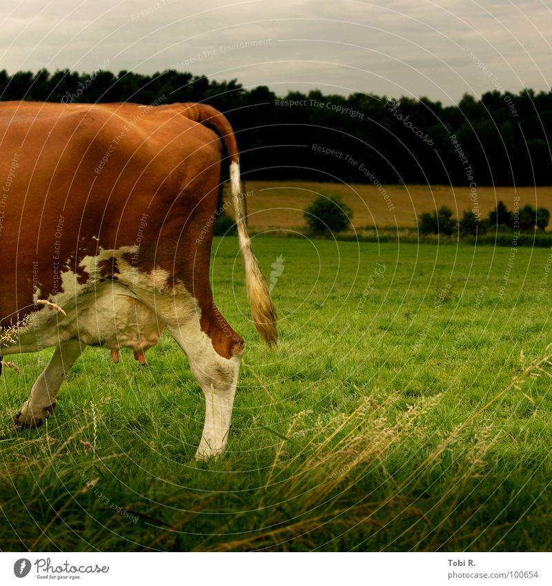 Kuh-kuck Tier Säugetier Fell Schwanz muhen Euter Milchkuh braun weiß Wiese Feld grün Pflanze Bauernhof Landwirtschaft Gras Außenaufnahme Cow Cows animal animals