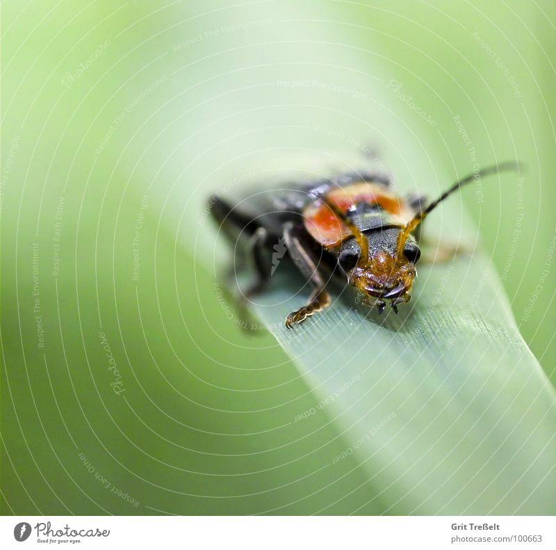 Käfer Insekt Wiese Halm grün Körperhaltung Blick Rasen