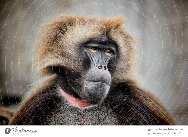 Männer von Heute Tier Wildtier Zoo 1 Blick ästhetisch sportlich authentisch bedrohlich blond exotisch schön braun Zufriedenheit Optimismus Willensstärke Affen