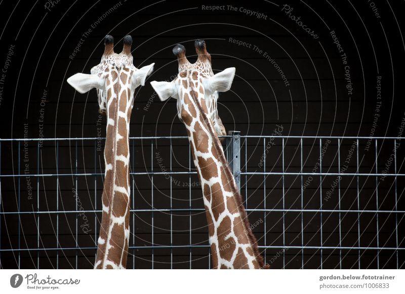 schau mal Tier schwarz Traurigkeit braun Kopf Tierpaar groß beobachten Zukunftsangst Zoo Expedition Treue Safari Giraffe Tierfamilie