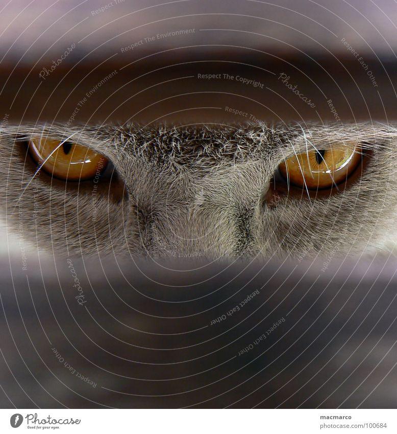 schau mir in die augen, kleiner Katze Tier Durchblick Fell Bernstein mystisch bezaubernd intensiv Säugetier Makroaufnahme Nahaufnahme Konzentration Katzenauge