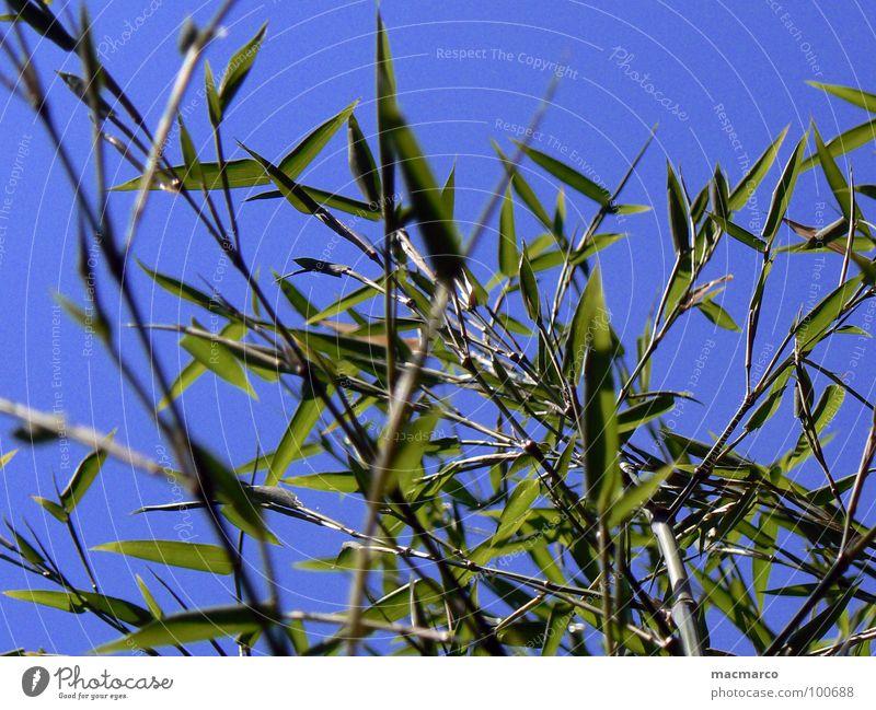 bamboo in the blue sky Himmel Natur Pflanze blau grün Sommer Umwelt Frühling Gras Garten Park Wachstum Ast Baumstamm Asien Zweig