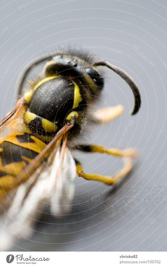 angriffslustig II schwarz Auge gelb Tod Beine Rücken fliegen gefährlich Flügel bedrohlich Biene Insekt Schmerz Fressen Gift