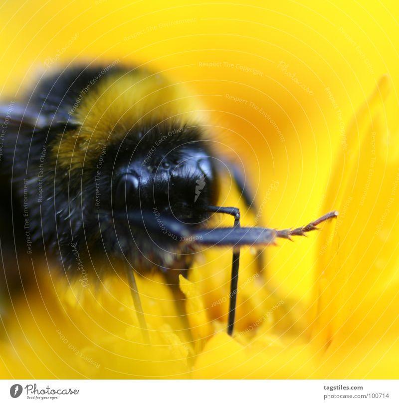 Er war's! ... Hummel schuldig lügen Lügner Arbeit & Erwerbstätigkeit Arbeiter gelb schwarz Staubfäden Sammlung Blüte Blume Pflanze verraten Sinn vorgaukeln