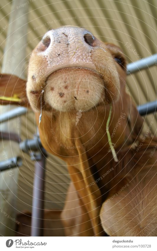 Kuhmaul Auge Tier Zufriedenheit Nase Coolness Ohr Tiergesicht Fell Konzentration Appetit & Hunger Verkehrswege Hals Säugetier Fressen Maul