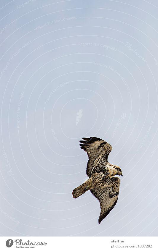 Tierisch gut: Amerikanischer Bussard Natur Himmel Wolkenloser Himmel Schönes Wetter Vogel 1 fliegen Greifvogel Feder Muster Farbfoto Außenaufnahme Menschenleer
