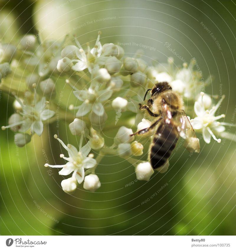 Fleißig ohne Ende Insekt Biene Blume Staubfäden Blüte Sammlung Suche fleißig genießen Kosten Sommer Makroaufnahme Nahaufnahme Natur Nektar Blühend sich bemühen