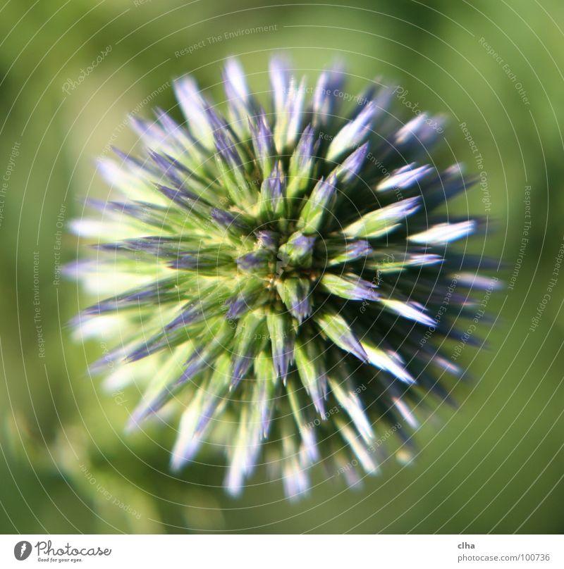 Ein Igel ? Blume Blüte grün Distel Pflanze Garten Makroaufnahme kugeldistel