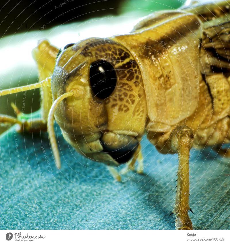 Flipp Heuschrecke Heimchen Sommer Insekt Tier Lebewesen springen hüpfen inseckt Makroaufnahme