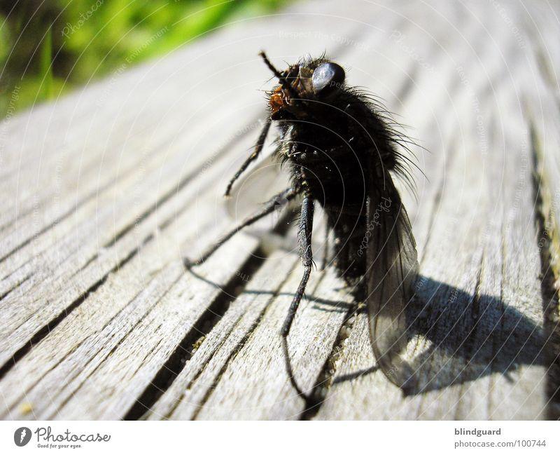 Brundlefliege ]|[ - Still Standing Insekt Biologie Tier Holzmehl Chitin Rüssel Ekel grün braun schwarz grau Hochschullehrer Experiment Fliege Teleportation
