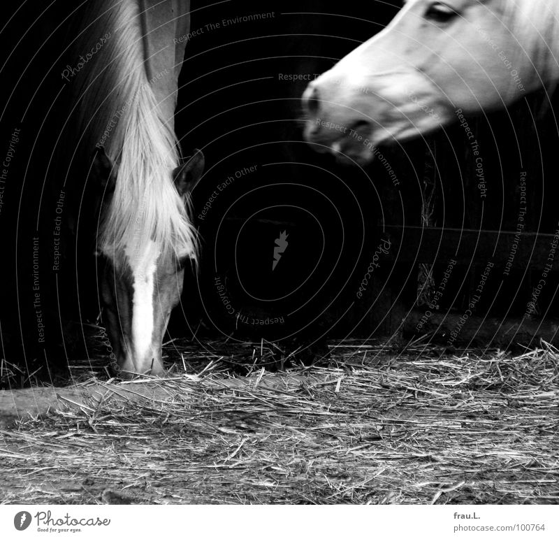 Wendy Tier laufen Pferd Dorf Bauernhof Appetit & Hunger Hals Säugetier Fressen Stroh Mähne Bewegungsunschärfe Wunschtraum Landleben Provinz Streu