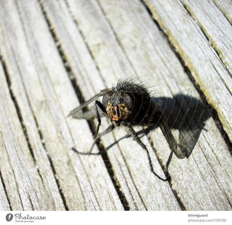 Brundlefliege ]||[ - Look In My Face grün Sonne Sommer schwarz Tier Auge Tod grau Holz Haare & Frisuren Beine braun Fliege außergewöhnlich stehen Flügel