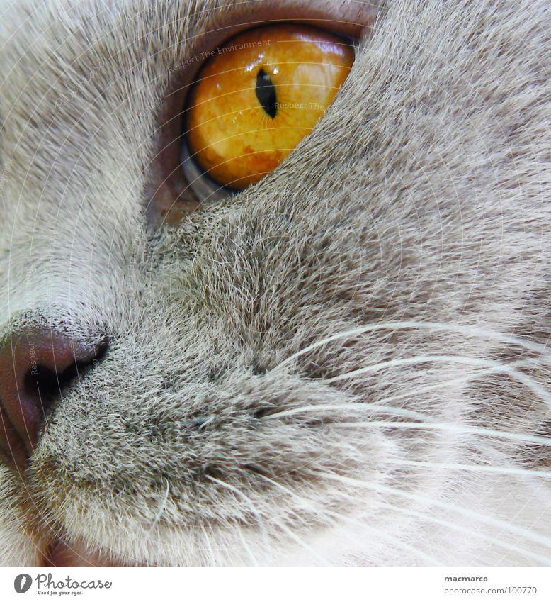 nabbi #2 Katze Tier Durchblick Fell Bernstein Schnurrhaar fixieren mystisch bezaubernd intensiv Makroaufnahme Nahaufnahme Säugetier Katzenauge Haare & Frisuren