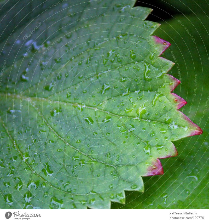 Nach dem Regen grün Pflanze Blatt rosa Zacken Hortensie
