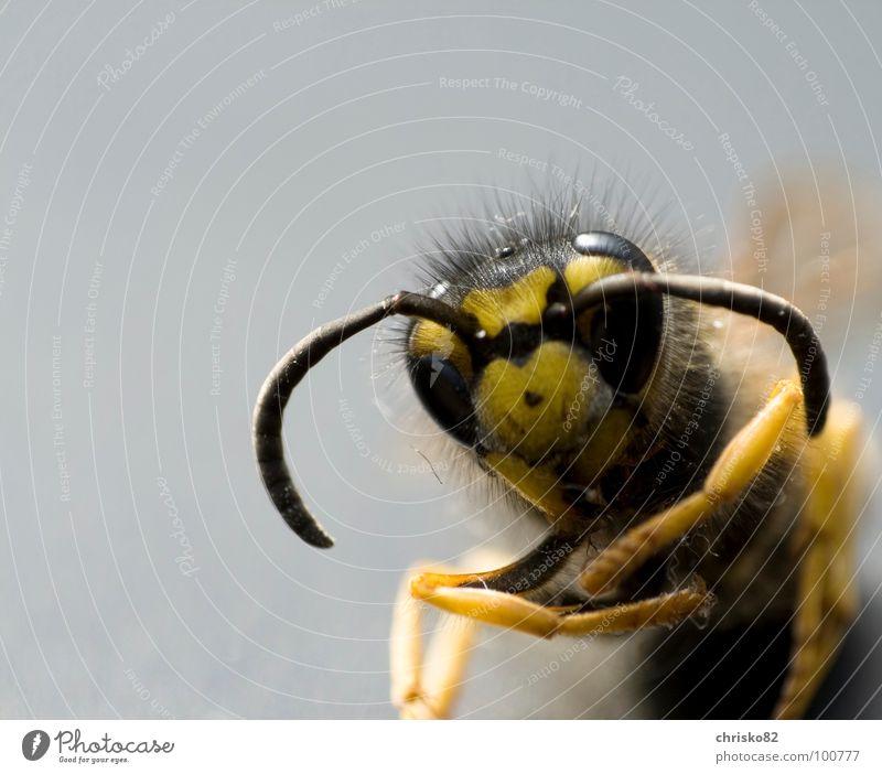 angriffslustig III schwarz Auge gelb Tod Beine Rücken fliegen gefährlich Flügel bedrohlich Biene Insekt Schmerz Fressen Gift