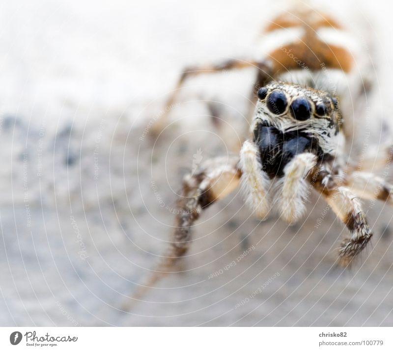 neugieriger haariger Hüpfer Spinne Streifen springen hüpfen klein Geschwindigkeit Neugier Zebra krabbeln Spielen Beton winzig süß Fell Blick Angriff Defensive
