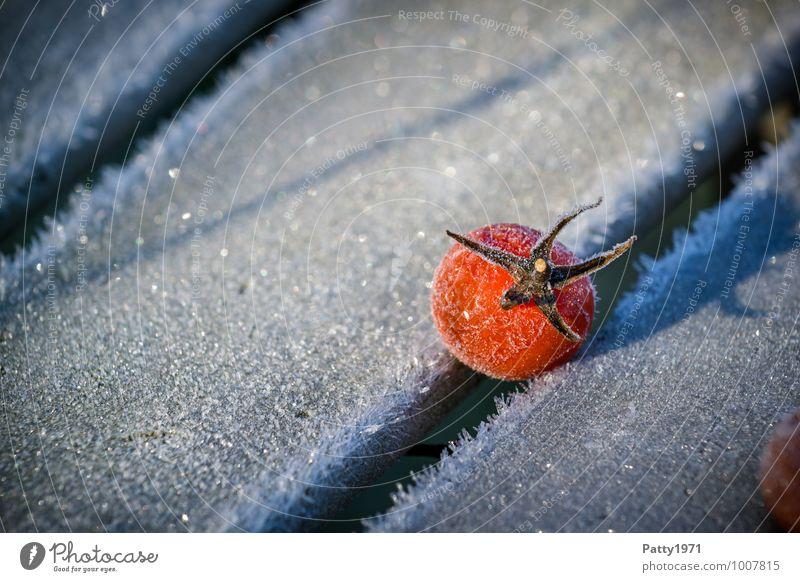 Tomate Lebensmittel Gemüse Winter Eis Frost Pflanze Nutzpflanze kalt rot weiß Natur Vergänglichkeit Farbfoto Außenaufnahme Nahaufnahme Menschenleer