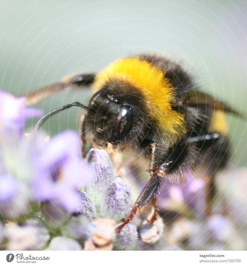 Hummel Hummel - Mors Mors Arbeit & Erwerbstätigkeit Arbeiter gelb schwarz violett Staubfäden Sammlung Blüte Blume Pflanze Sozialer Dienst Konzentration Moral