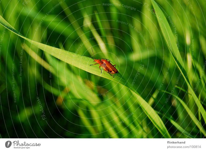 l'amour. grün Sommer Freude Tier Gefühle Wiese Beleuchtung Gras Glück fliegen hell Flügel Insekt Halm Optimismus Käfer