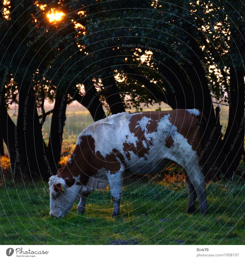 An einem warmen Sommerabend ... Landwirtschaft Forstwirtschaft Viehzucht Viehhaltung Sonne Sonnenlicht Schönes Wetter Baum Gras Wald Feld Weide Viehweide Tier