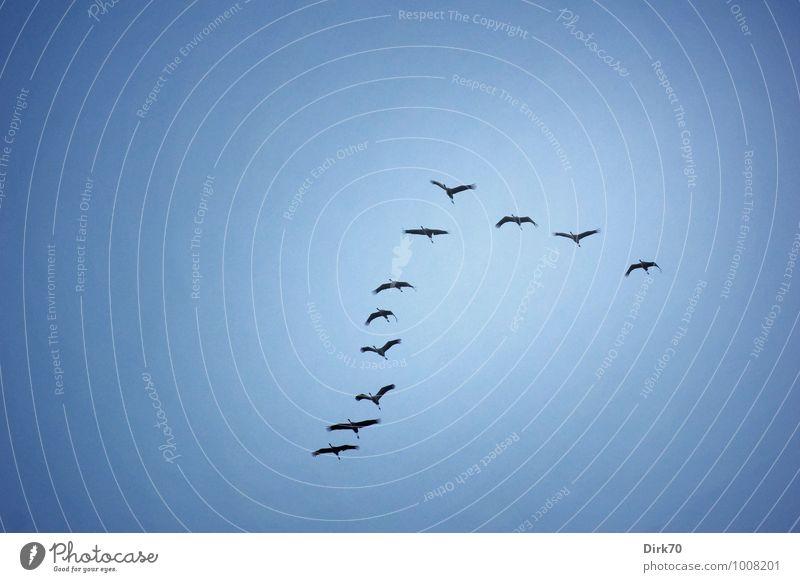Die Kraniche fliegen! Umwelt Tier Himmel Wolkenloser Himmel Herbst Schönes Wetter Bremen Deutschland Wildtier Vogel Zugvogel Vogelschwarm Tiergruppe Schwarm
